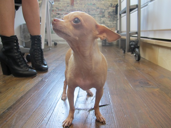 Post image for Friday Fun: Ruby the Breakdancing Chihuahua