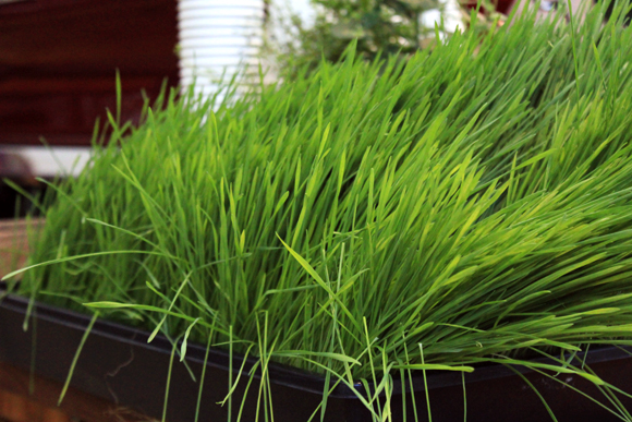 Post image for Wheatgrass Shots