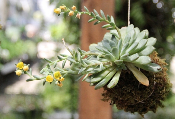 Post image for DIY Garden: Hanging Kokedama Plant
