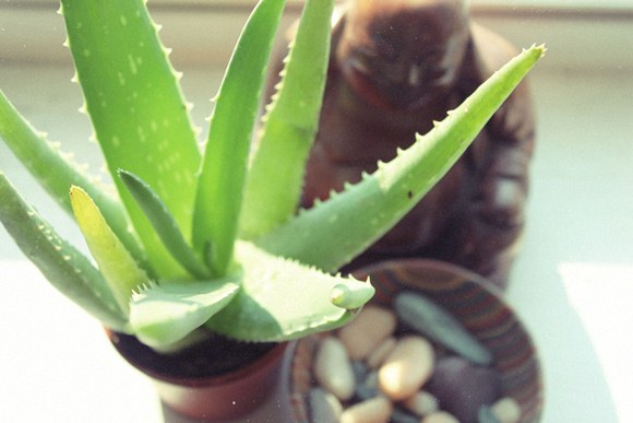 Aloe Plant Uses And Benefits