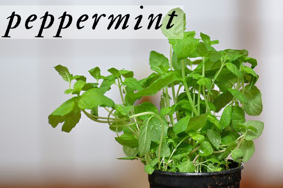 Peppermint Plant