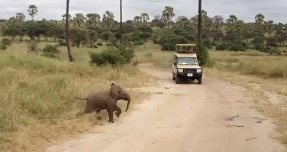 Thumbnail image for Adorable Video: Baby Elephant Crosses The Road