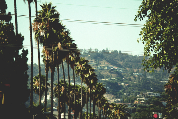 hollywood palm trees