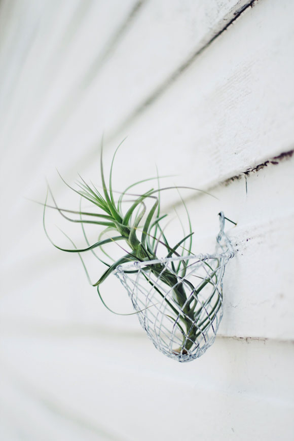 air plant in basket